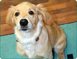 Golden Retriever Welpe Holly